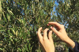 Oblica, Organic Olive Oil